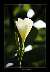 White Plumeria #2 (e.nhan) Tags: flowers light white flower art nature closeup landscape colours dof plumeria bokeh arts backlighting enhan galleryoffantasticshots