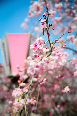 Pink is my favorite color! (Cik Kiah) Tags: pink japan cherry spring nikon blossoms hanami okayama d300 takebenomori korakuen