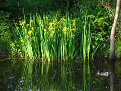 Irises Reflecting (Dave Roberts3) Tags: iris flower reflection tree green bird water yellow wales landscape canal duck newport greenery mallard ferns reflexions potofgold anawesomeshot dragondaggerphoto adjectives101~green