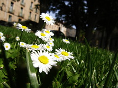 Daisies (Annie in Beziers) Tags: france macro grass sunshine daisies wildflowers streetscenes marguerites stnazaire bziers annieinbziers