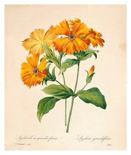 011-Lycnide de grandes flores-Choix des plus belles fleurs…1827- P.J.Redoute
