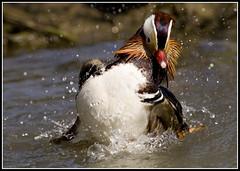 Mandarin Duck (4foot2) Tags: westsussex canon5d mandarinduck arundel aixgalericulata wetlandscentre anatidae arundelwetlandscentre 4foot2 4foot2flickr 4foot2photostream fourfoottwo