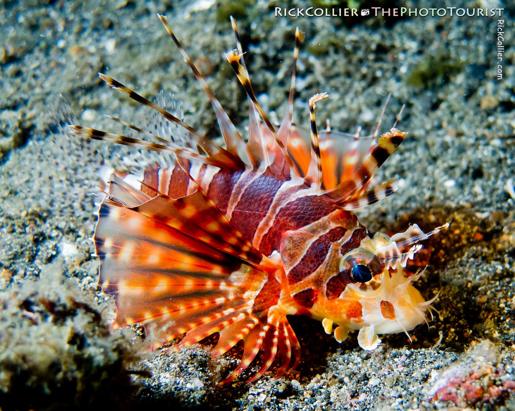 A small zebra lionfish on the black sand bottom of the Lembeh Strait at night