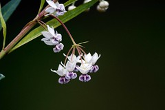 Wild flower (Nick a Quid) Tags: purple wildflowers asclepiasfruticosa flowerthequietbeauty