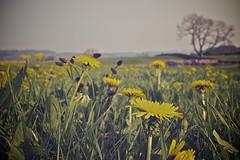 19 April 2011 (richard thwaites) Tags: field weeds cumbria fells eden dandelions askham