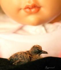 Pichoncito caído. (Rapunzel new (on and off)) Tags: bird babygirl resin collectibles puppen pichón hildegardgunzel artistdolls palomatorcaza