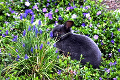 Sir Gray in Vinca (RIP 5/18/2011) (catlu1) Tags: flowers cute bunnies garden spring gray adorable american rabbits breed sir vinca