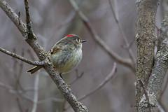 A53F0187-Edit Ruby-crowned Kinglet (~ Michaela Sagatova ~) Tags: bird nature dundas rubycrownedkinglet reguluscalendula dvca michaelasagatova