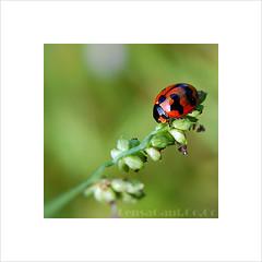 Macro Lady Bug