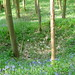 Bluebells, whitecoal kiln, Gillfield
