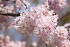 (Celadon Sky) Tags: cherry dc washington blossoms basin tidal