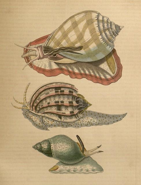 1 Casque bezoar (Cassis glauca) 2 Harpe ventrue (Harpa ventricosa) 3 Buccin ecaille (Buccinium testudineum)