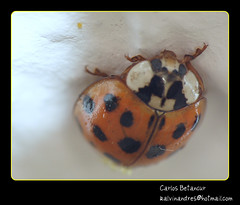 mariquita (CARLOS A.BETANCUR) Tags: mariquita cucarron carlosbetancur kalvinandres