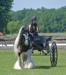 Florida Horse Park Breed Demo 2011 (The Pelton Vanners Gypsy Vanner Horses) Tags: horse gypsy gypsyvanner gypsycob