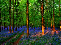 Bluebells are here again. (algo) Tags: wood uk blue sunset england sunlight bluebells evening topf50 topv333 searchthebest chilterns topv222 algo topf100 100f 50f holidaysvacanzeurlaub 110426 110502 searchthebestnew