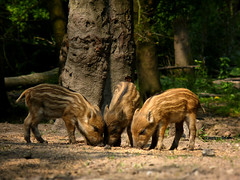 Three wild boar piglets at the Veluwe (Bn) Tags: trees shadow red wild cute nature netherlands beauty sunshine animals forest walking three topf50 woodlands stream solitude afternoon beek hiking wildlife traces deer pigs brook shallow grassland topf100 boar wildzwijn veluwe boars piglets natue hogs boggy gelderland wildboar ermelo foraging hulshorst eaters elspeet wildvarken cleanest staverden leuvenum noctural zwijnen hierden 100faves 50faves dedriebiggetjes leuvenumsebos hierdensebeek dutchnature everzwijnen frislingen leuvenumsebeek europeanboars threepiglets staverdensebeek dedriekleinebiggetjes zwartwild 486mmzoom