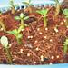 seeds adenium 3