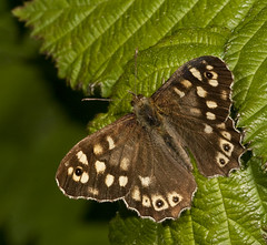 """Speckled Wood Butterfly (Pararge aeg(17) • <a style=""""font-size:0.8em;"""" href=""""http://www.flickr.com/photos/57024565@N00/5662074748/"""" target=""""_blank"""">View on Flickr</a>"""