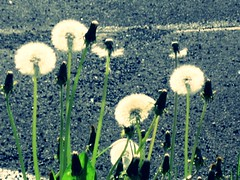 fluorescent (lori_an) Tags: street white blanco calle all place over fluorescent blanc dandelions fluorescente blowballs