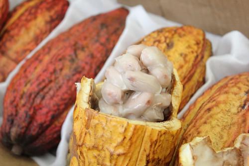 semi di cacao freschi