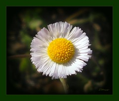 Thumbnail - Aster flower (Blanca Rosa / Zoila Stincer) Tags: flowers nature flora thumbnail canonpowershot asterflower gardensmiami zstincer