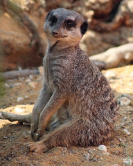 Port Lympne meerkat does the cute stuff (Daves Portfolio) Tags: animals kent meerkat african safari safaripark wildanimals portlympne wildlifeexperience aspinall