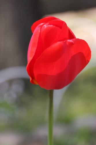 あか / Red tulip