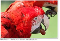 2011_04_25_1489 (John P Norton) Tags: bird fauna parrot manual f71 ef100400mmf4556lisusm 11250sec focallength400mm canoneos7d copyright2011johnnorton