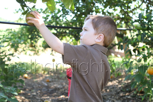 Picking Florida Oranges-5