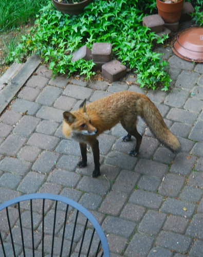 Red Fox Eyeing Birdfeeder, Reston
