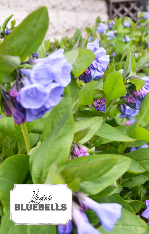 Virginia Bluebells (outside)