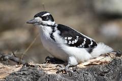 More classic pose (Matthew P Sharp) Tags: calgary bird woodpecker hiking wildlife prairies avian