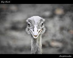 Big Bird /  (AmpamukA) Tags: travel wild white black bird eye animal thailand zoo big center aves ostrich mai thai chiang gaze ampamuka