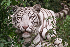 White Tiger Resting in the Shade at the Beijing Zoo (D200-PAUL) Tags: beijing tigers