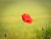 poppy-123 (snapper036) Tags: poppy poppiesfield