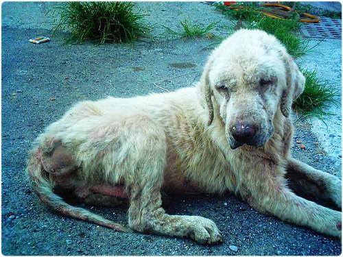 「支援助認養」台南鹿耳門全身爛光光的黃金獵犬,已由徐春水流浪狗之家救援了,後續需要您的醫療支援助認養,謝謝您,20110509