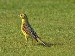 Yellowhammer. (inga_art) Tags: green bird nature grass yellow photography spring olympus latvia yellowhammer e510