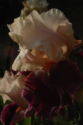 """Iris """"Piper's Flute"""""""