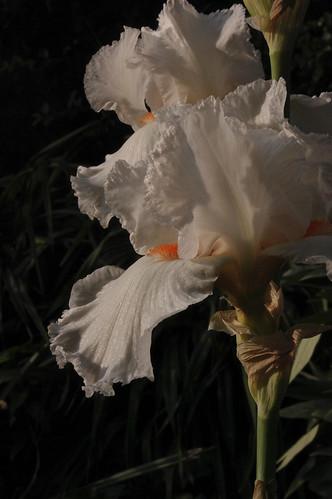 "Iris ""Heavenly Rapture"""