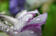Colourful (Elisabeth, Kelev, Tama, Mazal) Tags: flower colour reflection nature garden droplets refraction