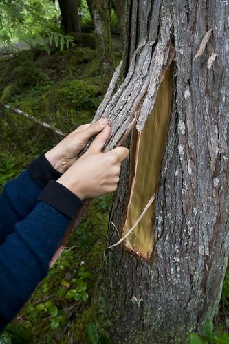 peeling the bark