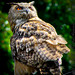 Barred Owl, Strix Varia_MG_0704