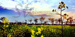 Each moment of the year has its own beauty..  A Click Taken In The Evening... (Sukhdarshan Singh) Tags: beauty its field photography year taken mustard click moment today has each own saron sarson the in a eveningkhet