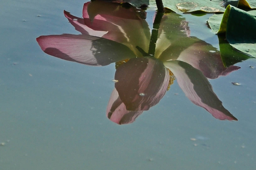 Reflections of Lotus 莲影 ...