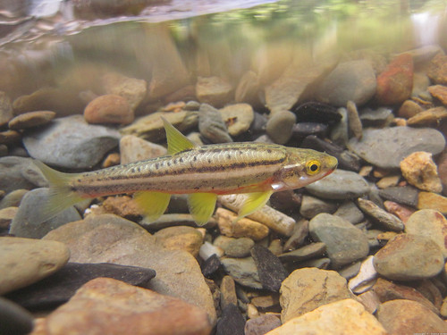 Chrosomus erythrogaster (southern red-bellied dace)