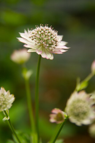 astrantia major  346