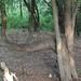 Dogleg Cedar Elm