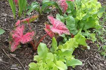 Lettuce and flowers in flower bed