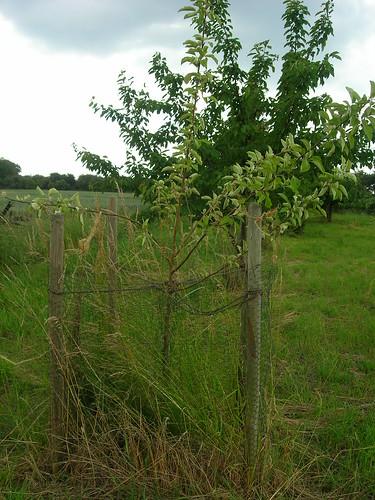 Apfelbaum nach Herunterbinden