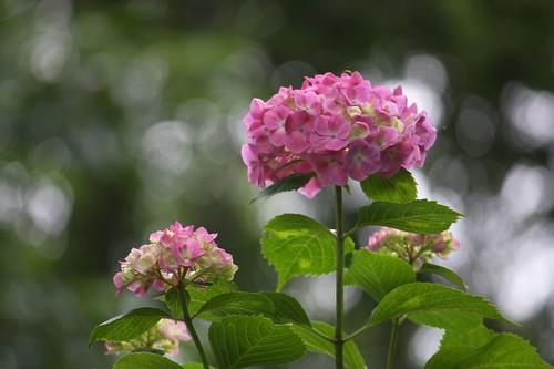 紫陽花の苑